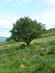 Celtic religion - fairy tree