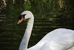 Irish Love poems - Woman, graceful as the swan