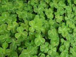 Picture of a shamrock