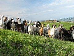 Irish curses goats